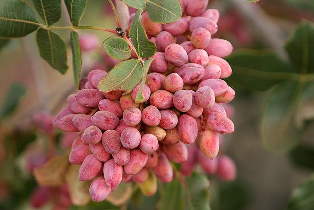 Az értett pisztácia gyümölcs Forrás: Wikipédia