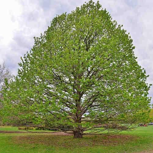 Egy jóllakott mogyoró fa. Forrás: futureforests.ie