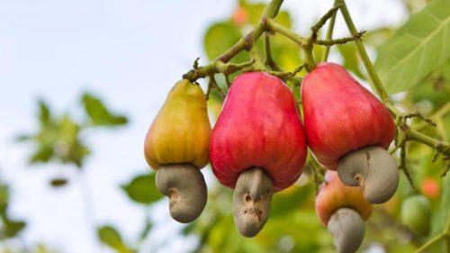 A kesu gyümölcs és mag. Forrás: Ez a kép csomó helyen fent van, de nem sikerült az eredeti forrást megtalálnom.